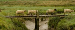 schapen-over-de-dam